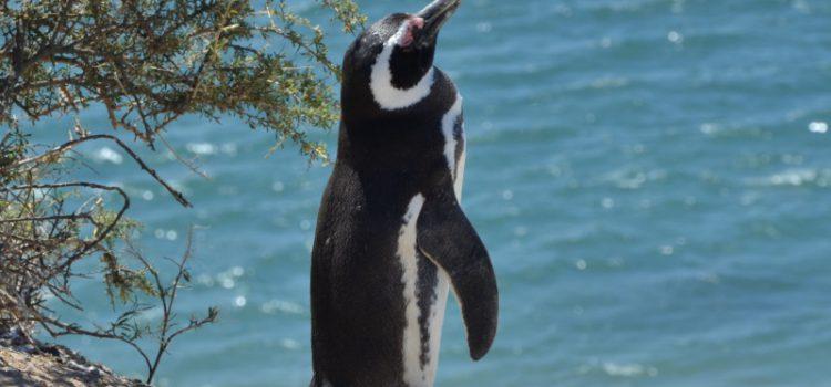 Pingviner og meget mere på Península Valdés