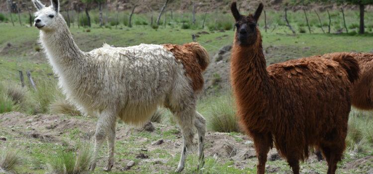 Bliv ikke kørt over af en lama på en argentinsk bjergvej!